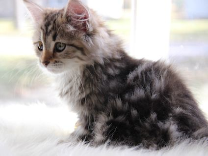 Available Siberians