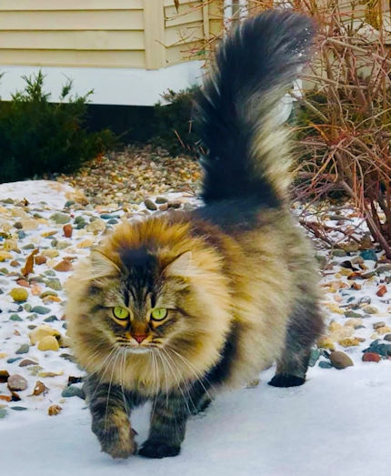 Tunie's Siberians, Minnesota's foremost home of Traditional Siberian