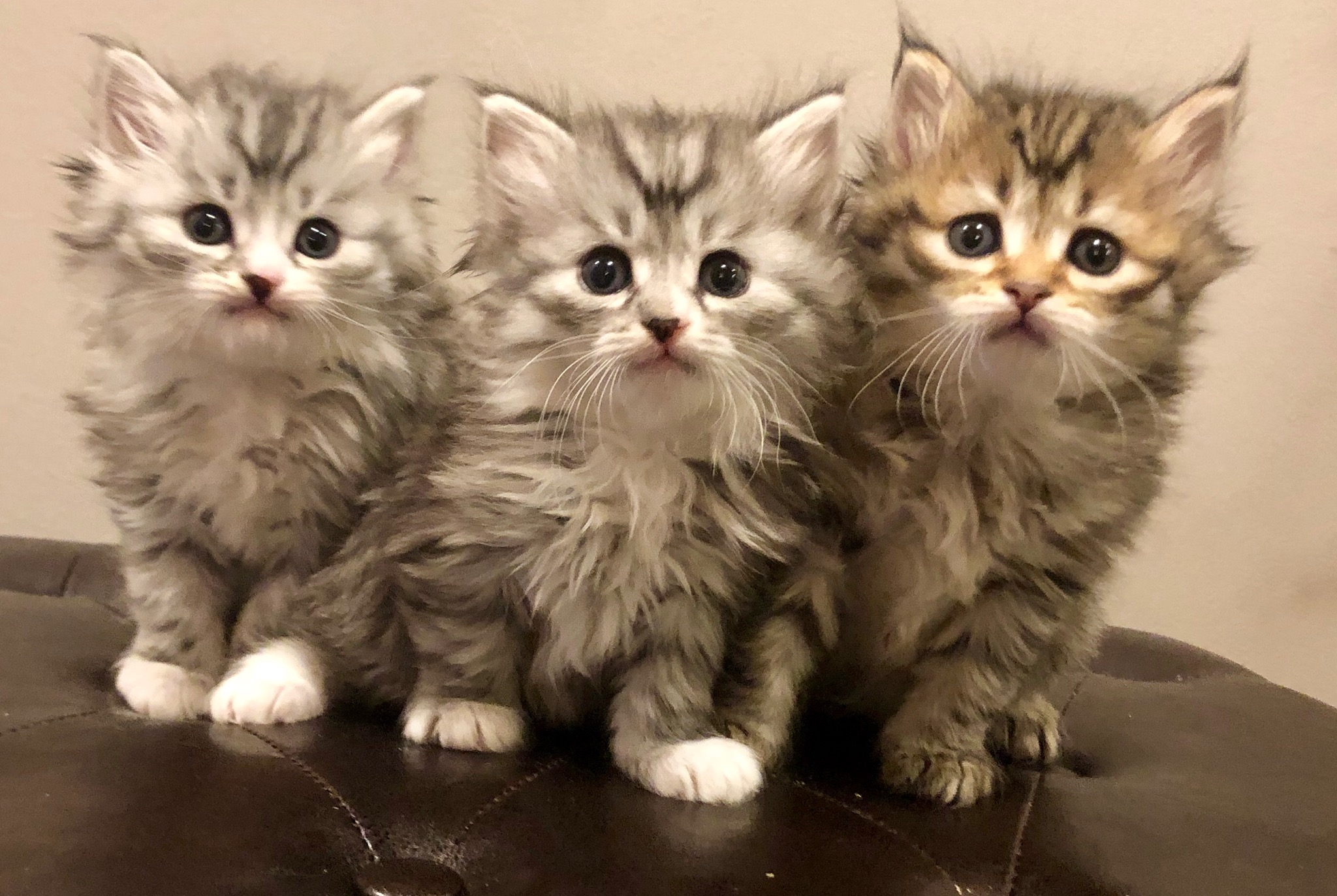 Purchase A Siberian Forest Cat
