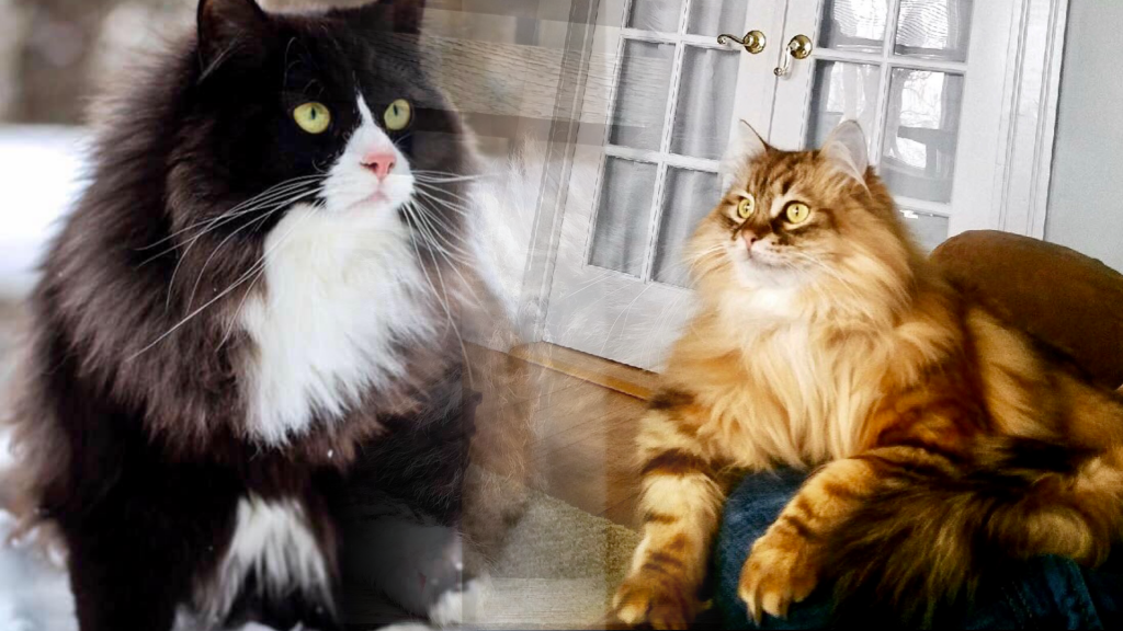 Tunie S Siberians Minnesota S Foremost Home Of Traditional Siberian Forest Cats And Kittens
